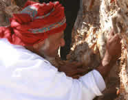 95 year old frankincense harvester