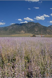 lavender field at Young Living Farm in Mona, UT