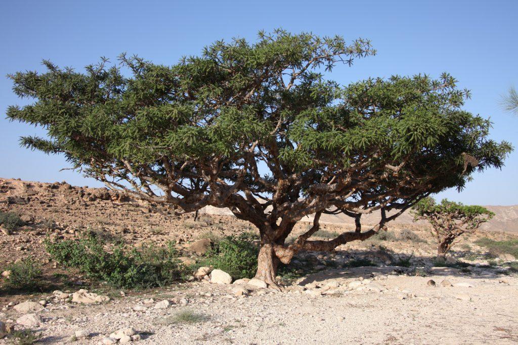 Omani frankincense tree