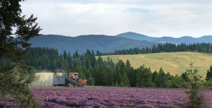 Young Living lavender farm in St. Maries, Idaho