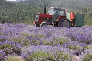 Gary's hybrid Massey-Ferguson tractor harvesting lavender on the St. Maries, Idaho, farm