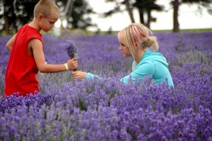 Lavandula angustifolia at Young Living's lavender farm in Mona, UT.