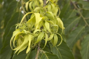 Blossoms from the exotic ylang ylang tree at YL's Finca Botanica Aromatica farm in Chongon, Ecuador.