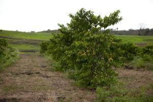 Ylang Ylang trees at Young Living farm