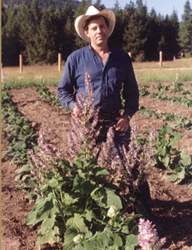 Growing clary sage at St. Maries, Idaho, with seed brought from France.
