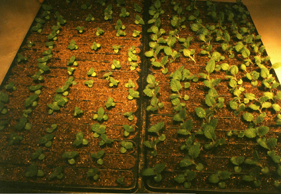 Untreated plants on the left; treated plants on the right.
