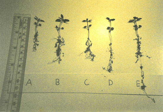 Soil and Seed Research conducted on clary sage and lavender 1989-1996—Gary Young and Tainio Technology Industries.
