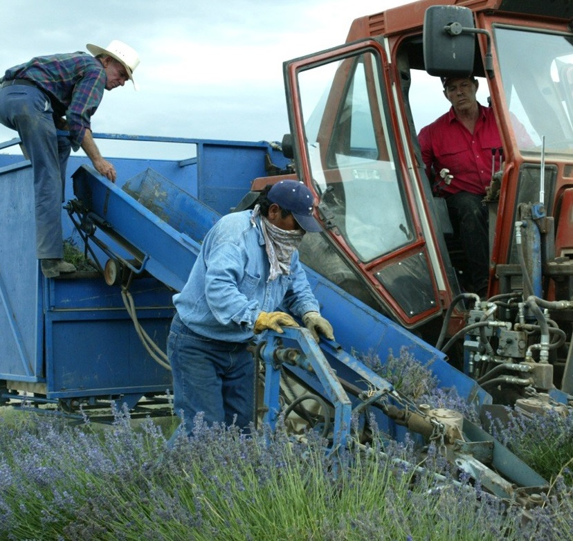Gary and Eldon Knittle Harvest True Lavender.