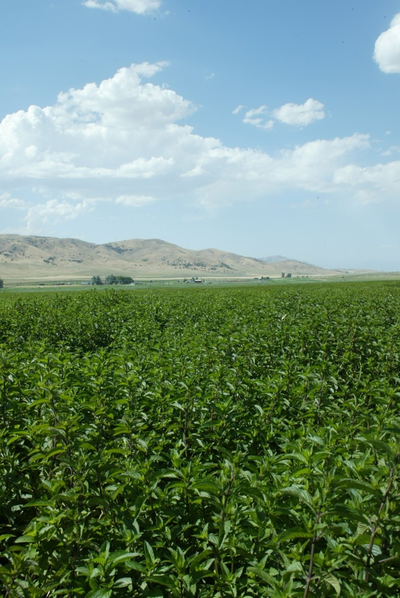 One of Young Living's beautiful peppermint fields on a summer day at the Mona, Utah, farm.
