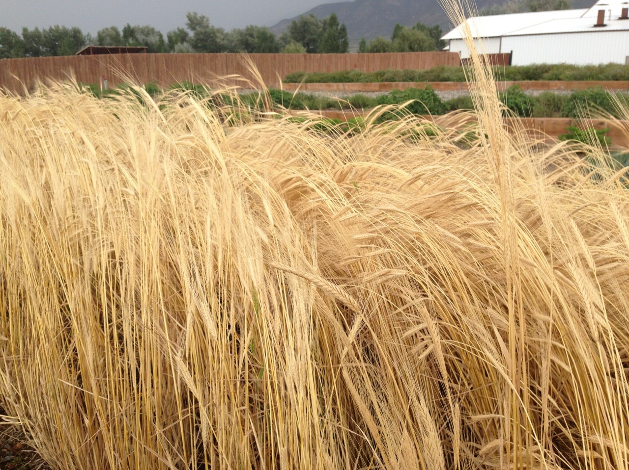 This is Gary's beautiful field of einkorn grain growing on the Young Living Mona, UT, farm.