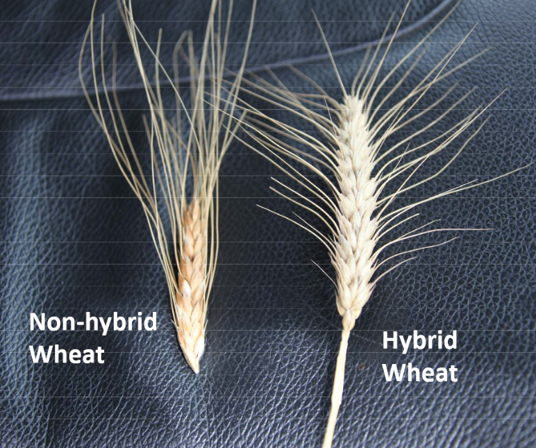 Hybrid wheat gives the farmer more grain to sell. But in this case, more is not better! It is not more nutritious, and it is not more healthful. Hybrid wheat is worse than empty calories.