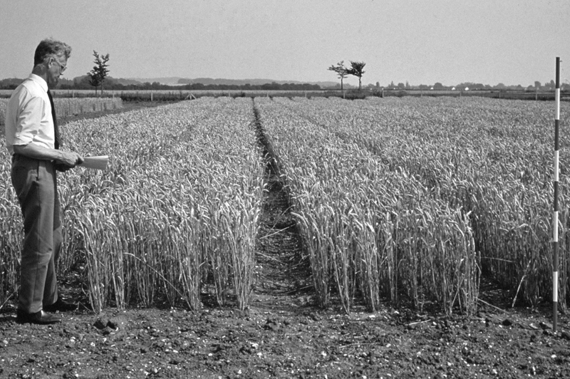 The author of Wheat Belly, Dr. William Davis, posted this photo of wheat hybridization on his website (www.wheatbellyblog.com). It shows the much shorter hybrid semi-dwarf and dwarf wheat developed in the 1950s.