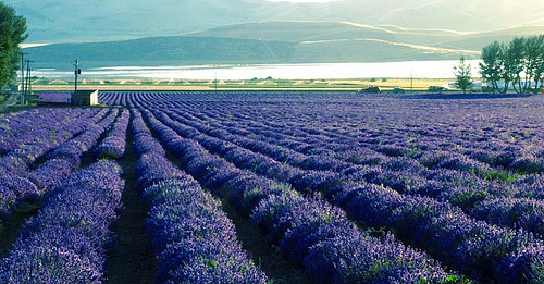 Such a beautiful sight to see! Hundreds of acres of beautiful lavender plants. Be sure to come to our Run Through the Lavender races and Lavender Day celebration held each summer.