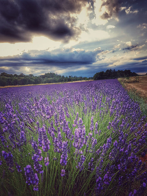 france lavender 3