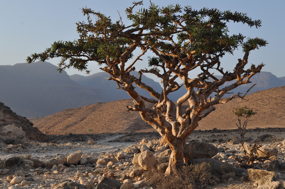 Omani Frankincense Tree