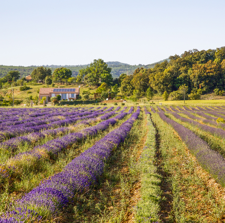 2010 Lavender France Field