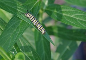 A monarch butterfly caterpillar on a milkweed plant leaf